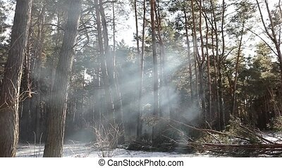 the sun's rays make their way through the smoke from the fire in the forest. rays of the sun with smoke,rays of the sun from the smoke of the sun shines a tree cut.