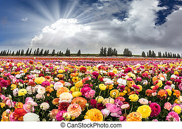 Flower Israeli kibbutz - The sun's rays shine from cumulus...