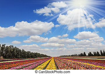 Flower kibbutz near Gaza - The sun's rays shine from cumulus...