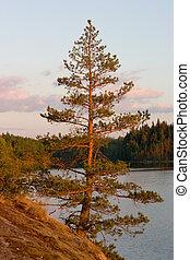 The sunset pine