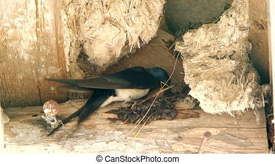The swallow is nesting its nest with its beak from different...
