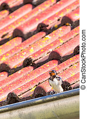 Vertical photo of single swallow with nice white, black and red feathers which is perched on metal gutter. Bird is on red roof with green moss and lichens during the day time.