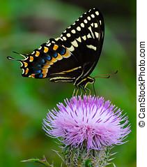 The swallowtail drinking nectar - A spicebush swallowtail...