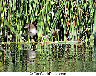 The swamp chicken 3-4 months old in the reeds - The common ...
