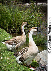 Pair of Swan geese - The Swan goose (Anser cygnoides) is a ...