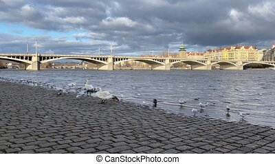 The swans and seagulls on the riverbank in Smichov, Prague, ...
