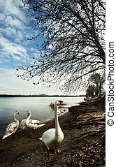 the swans