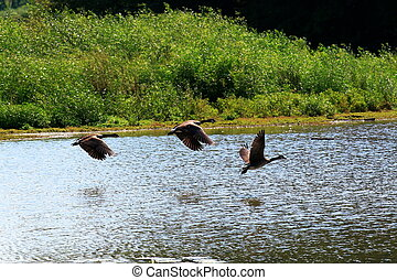 The Takeoff - 5 - Three geese taking off from a wildlife...