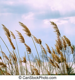 The tall, Dry reeds on the shore of the lake under cloudy sky