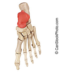 The talus bone - medical accurate illustration of the talus...
