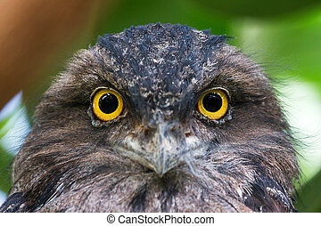 The Tawny Frogmouth portrait - Beautiful portrait of the...