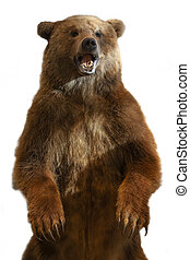 The taxidermy of a Kamchatka brown bear on white background
