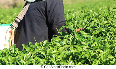 The tea harvest by hand