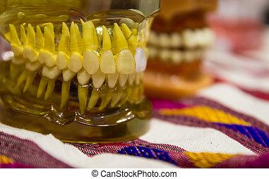 the teeth model