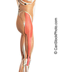 The tensor fascia lata - medically accurate illustration of...