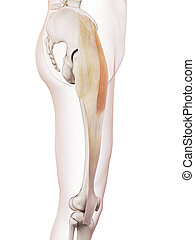 The tensor fascia lata - medically accurate muscle...