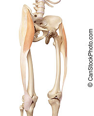 The tensor fascia lata - medical accurate illustration of...