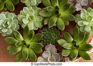 The texture is different succulents on the background of...