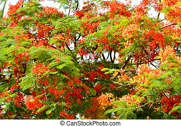 The texture of a beautiful Delonix plant tree with red unusual flowers with petals and fresh green leaves in Egypt. The background