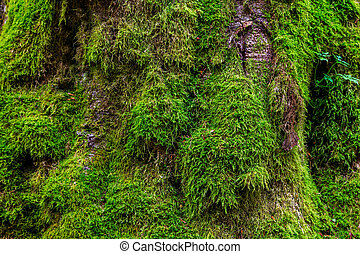 The texture of tree bark with moss