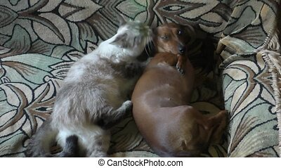 cat licks a dog  - The Thai cat licks a dog the rate