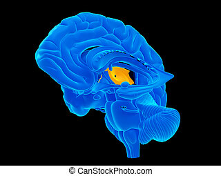The thalamus - medically accurate illustration of the...