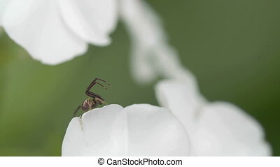 The Thomisidae spider is on the edge of the petal