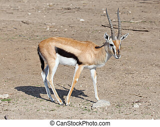 Thomson's gazelle - The Thomson's gazelle (Eudorcas...