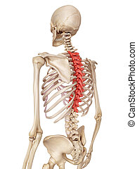 The thoracic spine - medical accurate illustration of the...