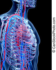 The thorax - the human vascular system - the thorax