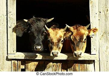 The three calves