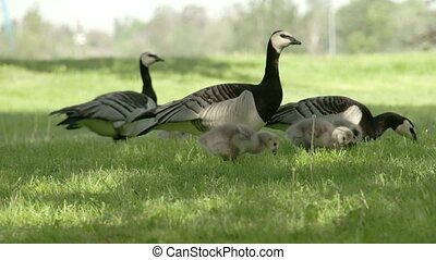 The three goose eating on the grass