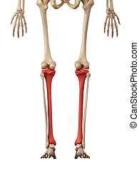 The tibia - medical accurate illustration of the tibia