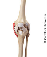 The tibial collateral ligament - medical accurate...