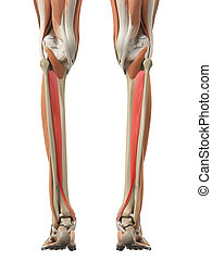 The tibialis posterior - medically accurate illustration of...