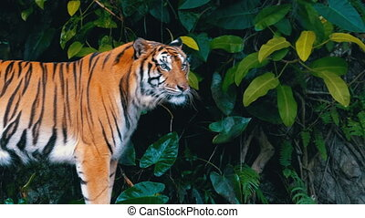 The tiger in Jungle. Khao Kheow Open Zoo. Thailand. Bengal...