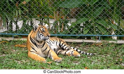The tiger in the zoo is lying on the grass. Thailand,...