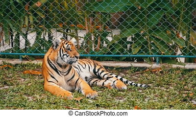 The tiger is lying on the grass. Thailand, Pattaya