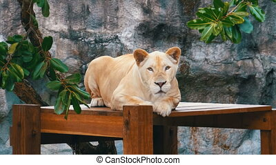 The tiger lies on a wooden table in Khao Kheow Open Zoo....