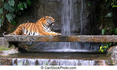 The Tiger Lies on the Rock near the Waterfall. Thailand -...