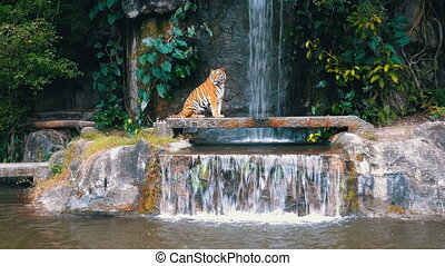 The Tiger Sit on the Rock near the Waterfall. Thailand - The...