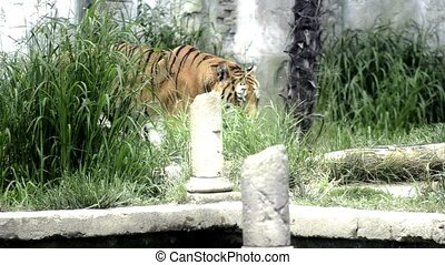 the tiger - Walking big cat. A tiger in the Maharajah's...