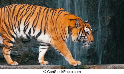 The Tiger walks on the Rock near the Waterfall. Thailand -...