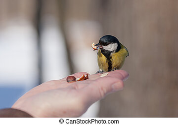 the titmouse eats nuts