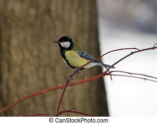 The titmouse on a branch