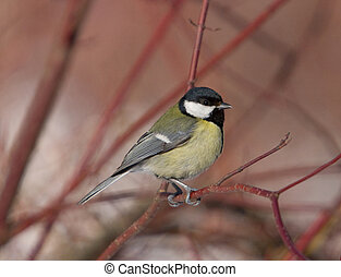 The titmouse sits on a branch (Parus major)