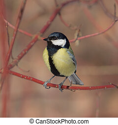 The titmouse sits on a branch