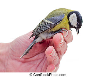 The titmouse  sitting  on a hand 3