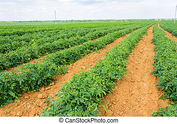 Huge plantation beginners to flower tomato.