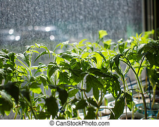 the tomato seedlings on the window in Moscow